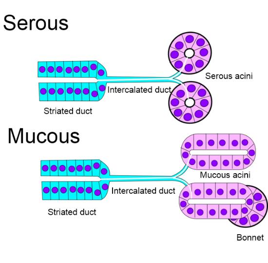 illustration of acini