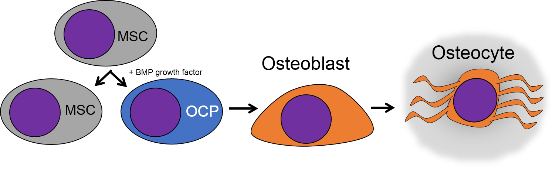 illustration of bone cells