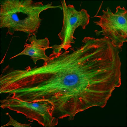 confocal image of a cell and cytoskeleton