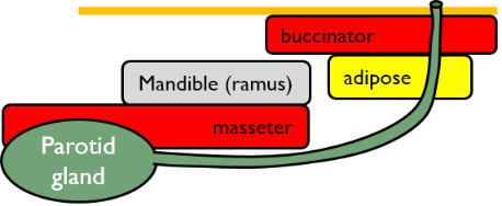 illustration of the parotid duct