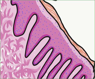 illustration of masticatory mucosa