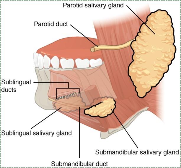 illustration of salivary glands