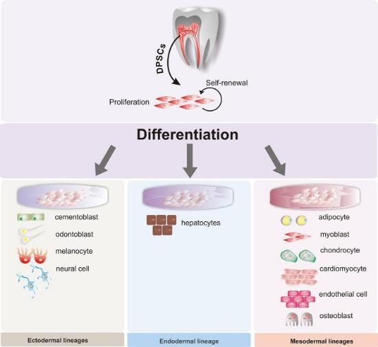 scientific diagram of stem cells
