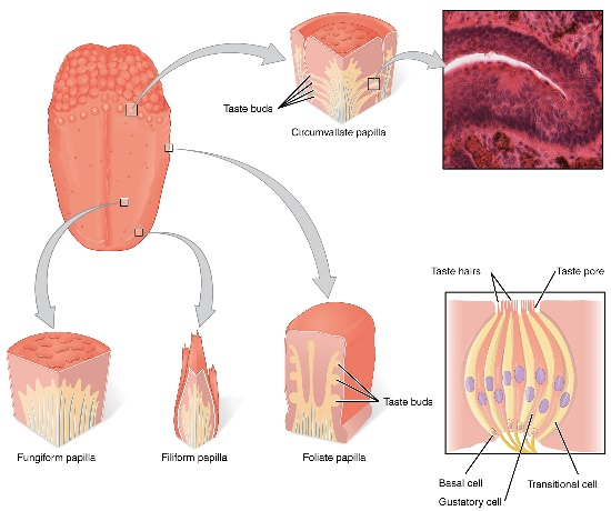 illustration of tongue histology