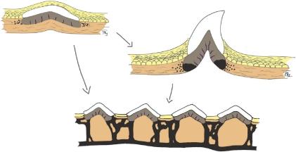scientific illustration of hard tissue evolution