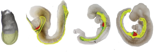 scientific photos of endoderm formation