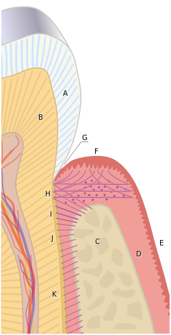 illustration of the periodontium
