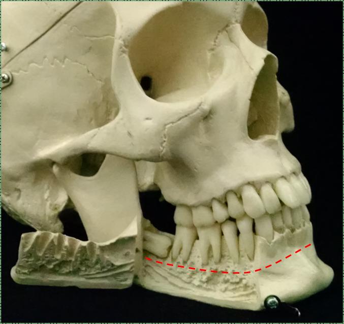photo of a model skull