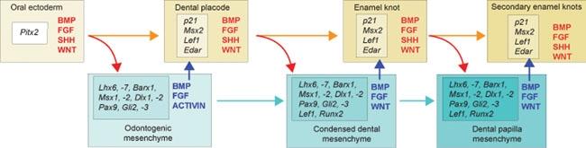 scientific diagram of signaling in amelogenesis