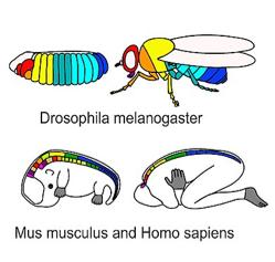 illustration of Hox genes